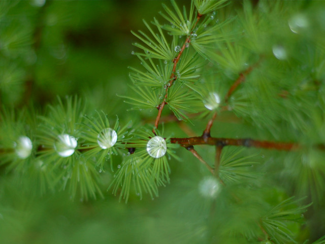 Evergreen Trees Guide for Your Garden