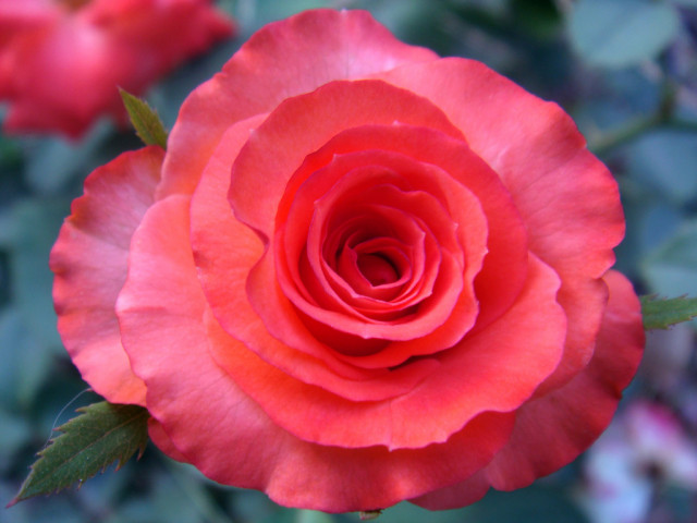 Gardening Secret of Growing Roses in Your Garden