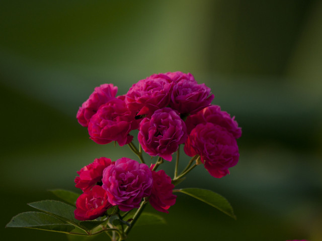 Learn Rose Gardening